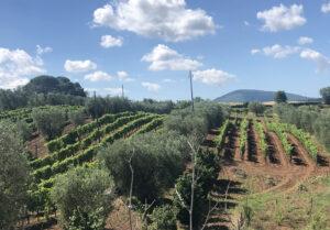 Panoramica vigna di Antonio Camillo